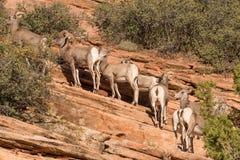 Desert Bighorn Sheep in Utah Royalty Free Stock Photos