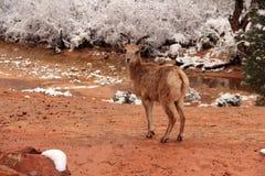 Desert Bighorn Sheep Stock Photos