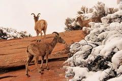 Desert Bighorn Sheep Stock Photography