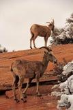 Desert Bighorn Sheep Stock Images