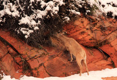 Desert Bighorn Sheep Royalty Free Stock Photos