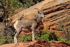 Desert Bighorn Sheep, Zion Park, Utah, US Royalty Free Stock Images