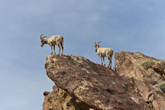 Desert Bighorn Sheeps in Anza Borrego Desert. Royalty Free Stock Photography