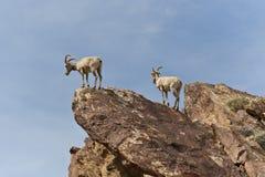 Desert Bighorn Sheeps in Anza Borrego Desert. royalty free stock photography