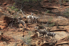 Desert Bighorn Sheeps Stock Photos