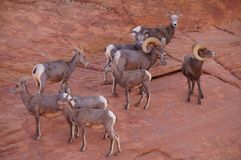 Desert bighorns. A herd of desert bighorn sheeps on the mountainside Royalty Free Stock Images