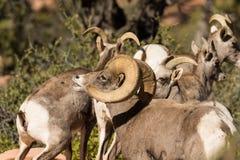 Desert Bighorns in Rut Stock Images