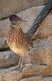 Desert Bird Stock Images