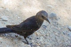 Desert bird. A bird eating in the desert, Israel Stock Photography