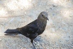 Desert bird. A bird eating in the desert, Israel Royalty Free Stock Images