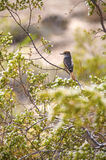 Desert Bird on a Tree Stock Photography