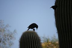 Desert birds tend to be much more abundant where the vegetation is lusher and thus offers more insects, fruit and seeds as food. Where the Arizona cities of stock photos