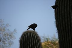 Desert birds tend to be much more abundant where the vegetation is lusher and thus offers more insects, fruit and seeds as food. Where the Arizona cities of stock photography