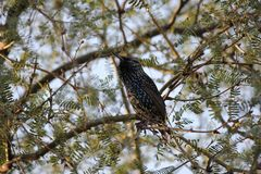 Desert birds tend to be much more abundant where the vegetation is lusher and thus offers more insects, fruit and seeds as food. Where the Arizona cities of stock photo