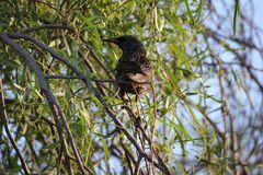 Desert birds tend to be much more abundant where the vegetation is lusher and thus offers more insects, fruit and seeds as food. Where the Arizona cities of stock image