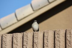 Desert birds tend to be much more abundant where the vegetation is lusher and thus offers more insects, fruit and seeds as food. Where the Arizona cities of royalty free stock image