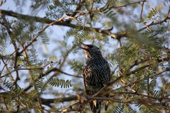 Desert birds tend to be much more abundant where the vegetation is lusher and thus offers more insects, fruit and seeds as food. Where the Arizona cities of royalty free stock photography
