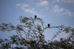 Desert birds tend to be much more abundant where the vegetation is lusher and thus offers more insects, fruit and seeds as food. Where the Arizona cities of stock images