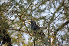 Desert birds tend to be much more abundant where the vegetation is lusher and thus offers more insects, fruit and seeds as food. Where the Arizona cities of royalty free stock images