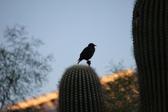 Desert birds tend to be much more abundant where the vegetation is lusher and thus offers more insects, fruit and seeds as food. Where the Arizona cities of royalty free stock photo