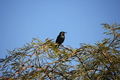 Desert birds tend to be much more abundant where the vegetation is lusher and thus offers more insects, fruit and seeds as food. Where the Arizona cities of royalty free stock photos