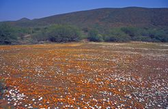 Desert in Bloom. Carpet of orange of white flowers carpet the desert of Namaqualand in South Africa Stock Photography