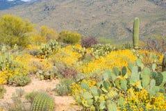 Desert in bloom. Cactus in bloom,cactus flower,spring bloom, Arizona flower ,spring flower, desert USA stock photo