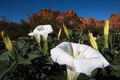 Desert bloom closeup in nevada. Desert flowers blooming in Nevada's Valley of Fire Royalty Free Stock Image