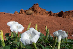 Desert bloom closeup in nevada. White desert flowers in red sand desert nevada Royalty Free Stock Photos