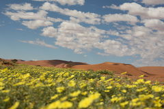 Desert in bloom. A field of yellow flowers blooming in the desert Royalty Free Stock Photography