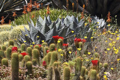 Desert in bloom. Prickly cacti in bloom stand as proof than even prickly people may appear beautiful Stock Photo