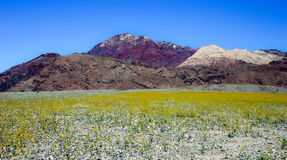 Desert in bloom. Red Canyon in bloom, Nevada Royalty Free Stock Photos