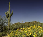 Desert in Bloom. The desert of Tonto National Forest outside Phoenix Arizona in the early spring Stock Photos