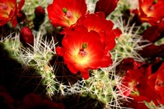 Desert Blooms. Red Cactus Bloom in Vermilion Cliffs area Royalty Free Stock Images