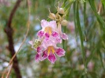 Desert Blossom Royalty Free Stock Photography