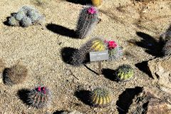 Desert Botanical Garden Phoenix Arizona. Cacti at the Desert Botanical Garden during the winter located in Phoenix Arizona Stock Photos