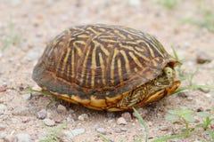 Desert Box Turtle Terrapene ornata luteola Royalty Free Stock Image