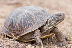 The desert box turtle Terrapene ornata luteola is a subspecies of box turtle which is endemic to the southwestern. Desert box turtle Terrapene ornata luteola is stock image