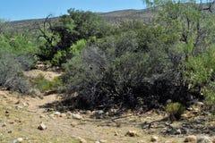 Desert Bush Royalty Free Stock Images