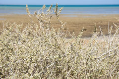 Desert bush on coastal sand dune Royalty Free Stock Images