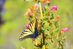 Desert butterfly Royalty Free Stock Images