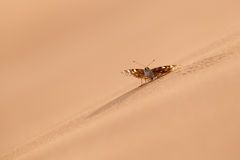 Desert Butterfly Stock Images