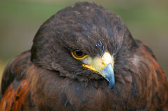 Desert buzzard. Portrait of desert buzzard/harris hawk head only royalty free stock photography