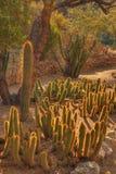 Desert Cacti. Various cacti in the winter Arizona desert Royalty Free Stock Photography