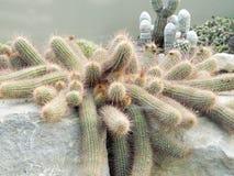 Desert cacti Stock Photography
