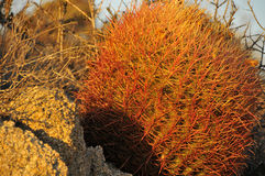 Desert Cactus. In Joshua Tree National Park, California royalty free stock image