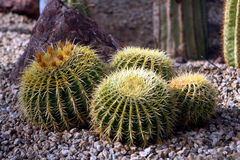 Desert cactus. Four desert cacti surrounded by pebbles with sunshine on the front cactus royalty free stock image
