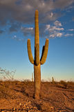 Desert Cactus. Cactus in the Sonora desert at sunset royalty free stock photography