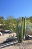 Desert cactus Stock Image