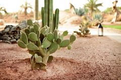 Free Desert Cactus Stock Images - 30947214